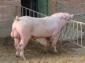 北安平规模养猪场