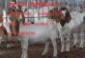 东最大的牛羊供应