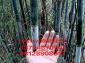 应粉单竹苗大单竹